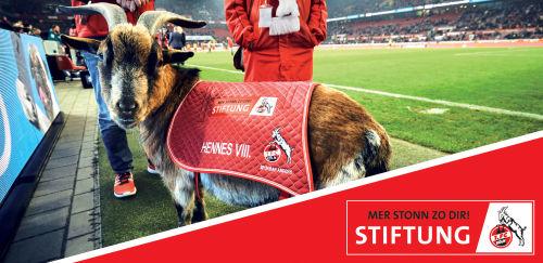 1. FC Köln: Geißbock vor dem Spielfeld