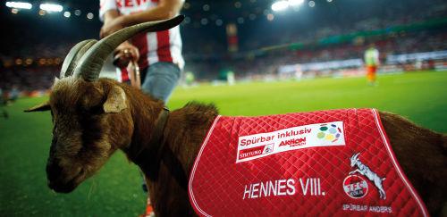 1. FC Köln: Geißbock vor dem Spielfeld mit Logos